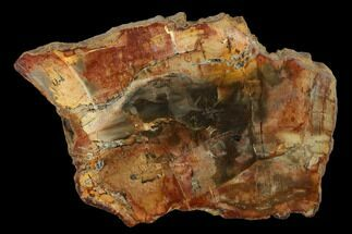 "4.3"" Petrified Wood (Araucaria) Slab - Madagascar  For Sale, #131447"