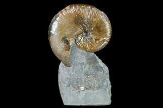 "2.9"" Fossil Hoploscaphites Ammonite - South Dakota For Sale, #131225"