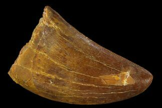 "1.24"" Carcharodontosaurus Tooth - Real Dinosaur Tooth For Sale, #131273"