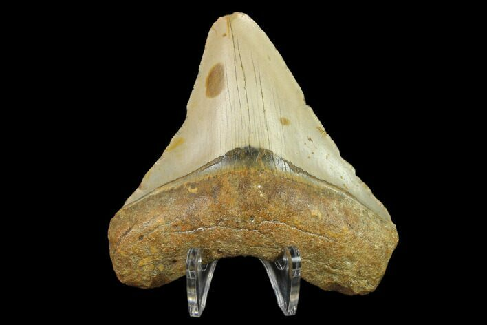 "3.58"" Fossil Megalodon Tooth - North Carolina"