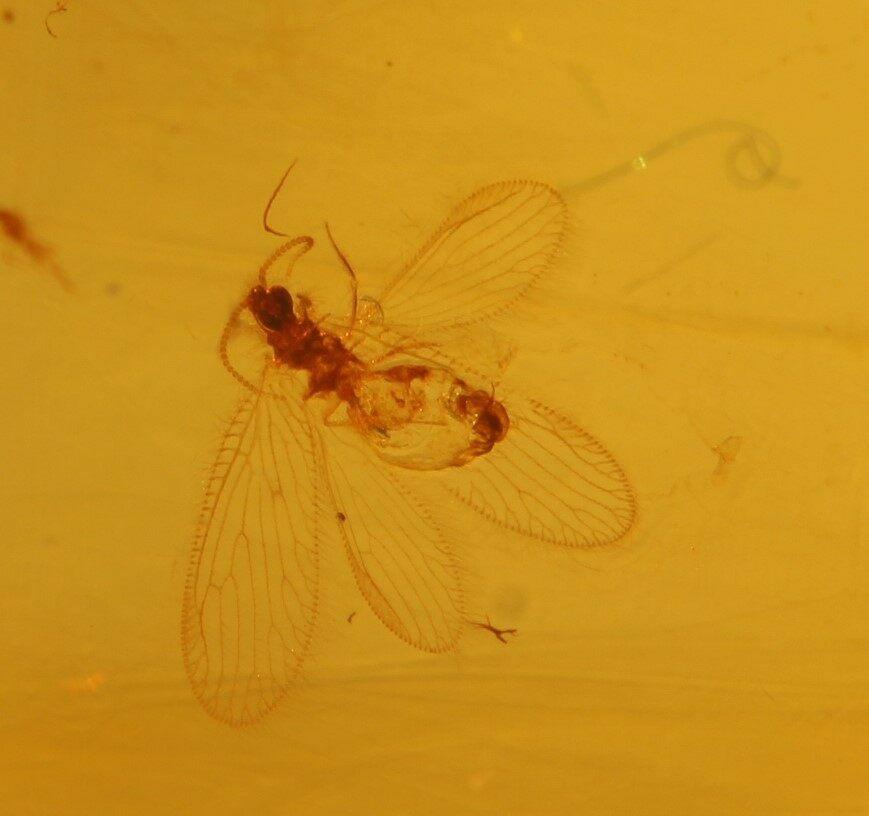 Electronic Recruitment Application Era Myanmar: Fossil Lacewing (Neuroptera) In Debris Free Amber