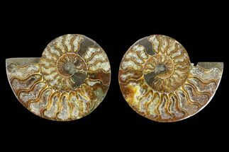 Cleoniceras - Fossils For Sale - #130002