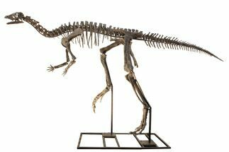 "Buy 8' 9"" Mounted Dryosaurus Skeleton From Colorado - Largest Complete - #132154"