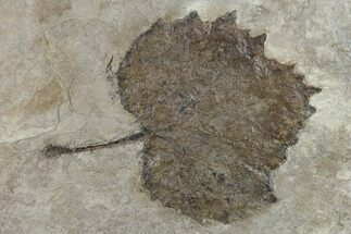 Platanus vitifolia - Fossils For Sale - #133005