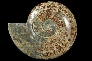 "Buy 12.2"" Polished Ammonite (Cleoniceras) Fossil - Madagascar - #133174"