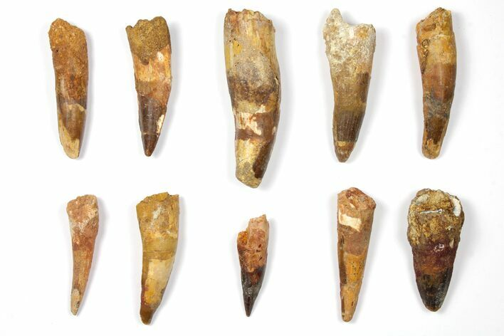 "Wholesale Lot: 2 to 3.4"" Bargain Spinosaurus Teeth - 10 Pieces"