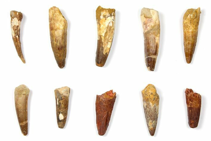 "Wholesale Lot: 1.5 to 2.3"" Bargain Spinosaurus Teeth - 10 Pieces"