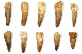 "Wholesale Lot: 1.7 to 2.6"" Bargain Spinosaurus Teeth - 10 Pieces For Sale, #133427"