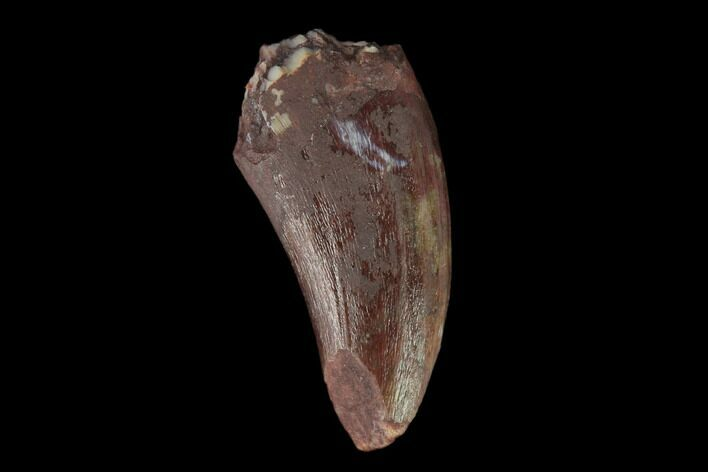 ".51"" Fossil Phytosaur Tooth - New Mexico"