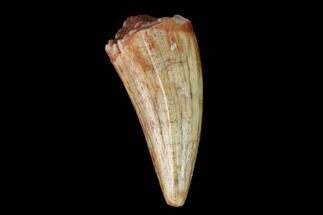 ".56"" Fossil Phytosaur Tooth - New Mexico For Sale, #133331"