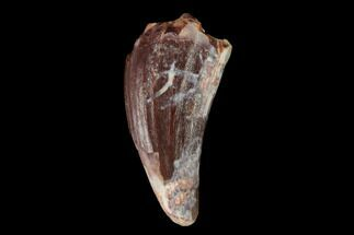 "Buy .66"" Fossil Phytosaur Tooth - New Mexico - #133339"