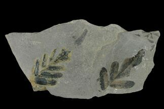 Neuropteris sp. - Fossils For Sale - #133635