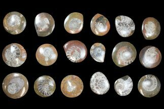 "Buy Wholesale Lot - 1.6 to 2.1"" Polished Fossil Goniatites - 200 Pieces - #133699"