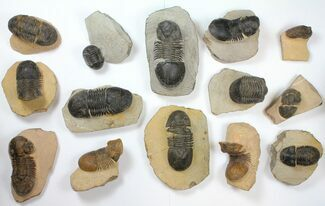 Buy Wholesale Lot: Paralejurus Trilobite Fossils - 14 Pieces - #134047
