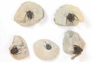 Wholesale Lot: Spiny Cyphaspis Trilobites - 5 Pieces For Sale, #134114