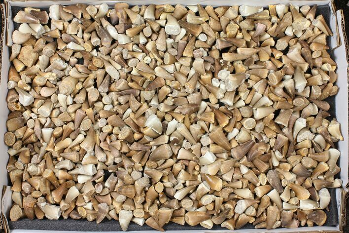 Wholesale Lot: Assorted Fossil Mosasaur Teeth - 1000 Pieces