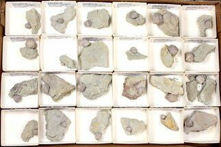 Pentremites godoni - Fossils For Sale - #134133