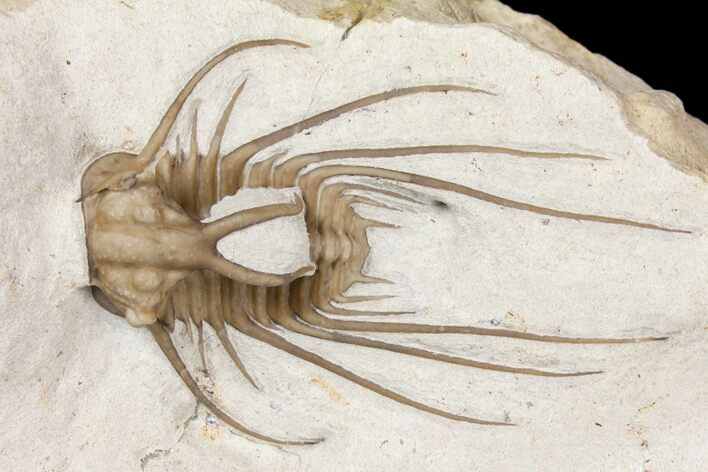 "1.9"" Rare Dicranurus Trilobite - Black Cat Mountain, Oklahoma"