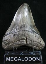 "Buy 5.08"" Megalodon Tooth  - #9424"