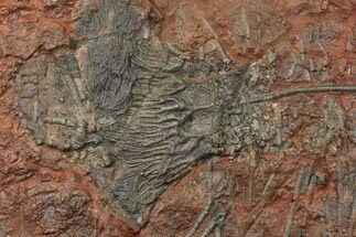 "15.7"" Silurian Fossil Crinoid (Scyphocrinites) Plate - Morocco For Sale, #134267"