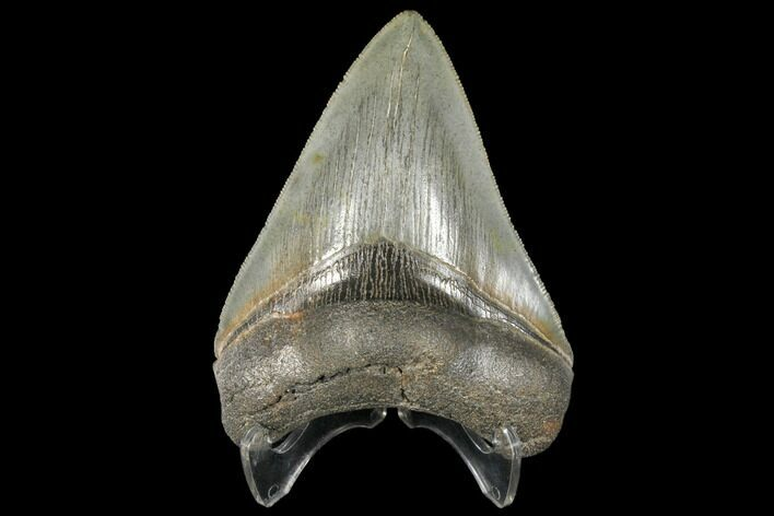 "Serrated, 4.30"" Fossil Megalodon Tooth - South Carolina"