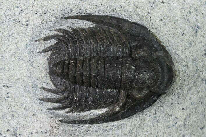"1.15"" Phaetonellus Trilobite With Partial Phacopid - Morocco"