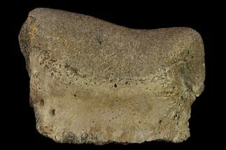 "2.3"" Ceratopsian Dinosaur Phalange - Alberta (Disposition #000028-29) For Sale, #134450"