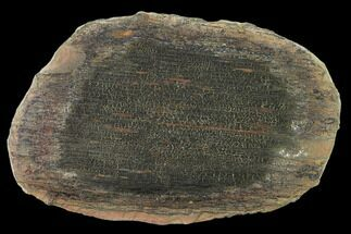 "Buy 6"" Fossil Horsetail (Calamites) In Ironstone - Illinois - #134869"