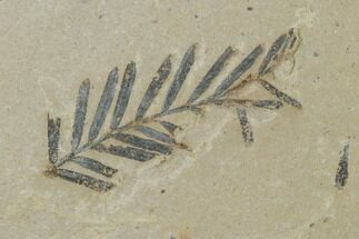 Metasequoia (Dawn Redwood) - Fossils For Sale - #135747