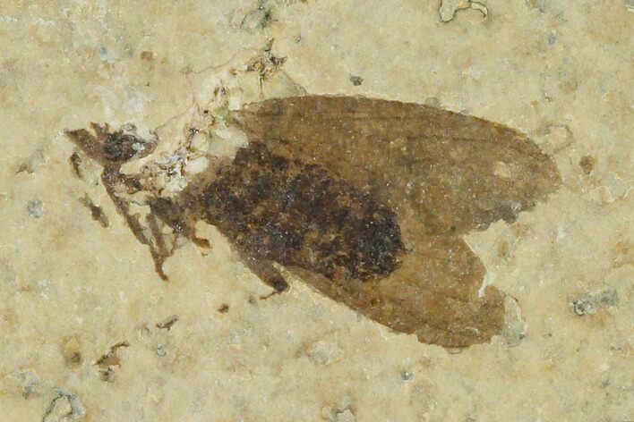 ".57"" Fossil March Fly (Plecia) - Green River Formation"