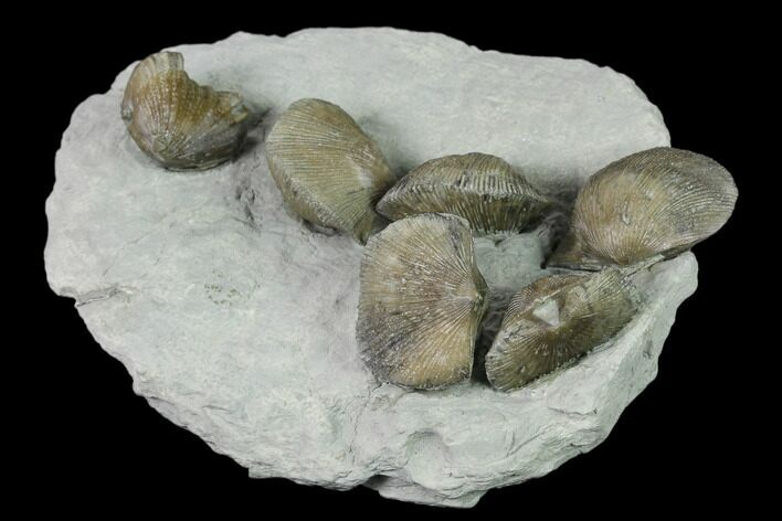 "4.3"" Multiple Fossil Brachiopod Plate (Two Species) - Indiana"