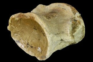 Platecarpus sp. - Fossils For Sale - #136494