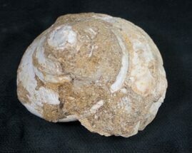 Pleurotomaria sp.  - Fossils For Sale - #9555