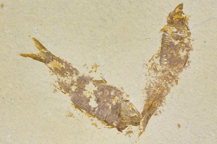 Pair of Fossil Fish (Knightia) - Green River Formation - Wyoming