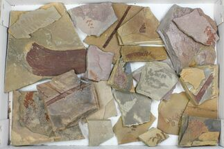 Buy Wholesale Flat - Assorted Plant Fossils From Manning Shale - 21 Pieces - #134398
