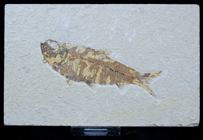 Bargain Knightia Fossil Fish - 4 Inches