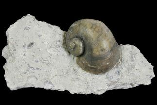 "1.2"" Fossil Gastropod (Platystoma) - Indiana For Sale, #136961"