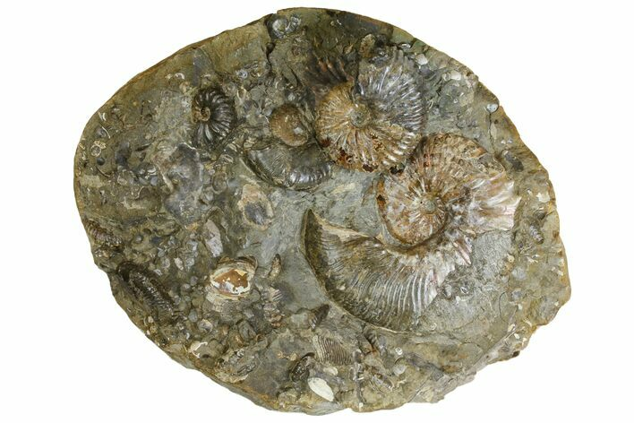"8.6"" Wide Fossil Ammonite Cluster - South Dakota"
