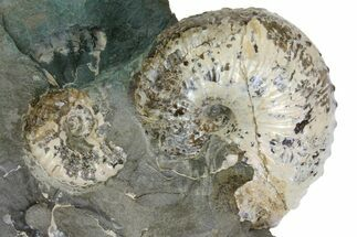 "Buy 2.1"" Fossil Ammonite (Hoploscaphites) - South Dakota - #137287"