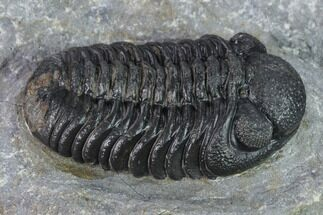 Morocops (Barrandeops) sp. - Fossils For Sale - #137556