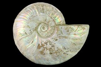 "5.8"" Silver Iridescent Ammonite (Cleoniceras) Fossil - Madagascar For Sale, #137399"