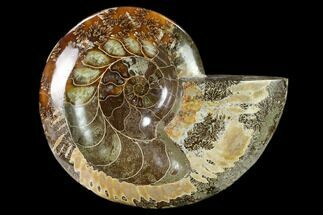 "5.9"" Wide Polished Fossil Ammonite ""Dish"" - Madagascar For Sale, #137405"