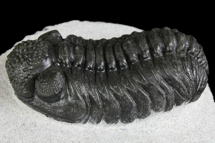 "2.45"" Adrisiops Weugi Trilobite - Recently Described Phacopid"