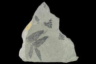 Neuropteris flexuosa? - Fossils For Sale - #137730