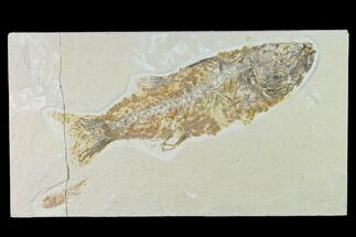"Buy Bargain, 8.9"" Fossil Fish (Mioplosus) - Uncommon Species - #138457"