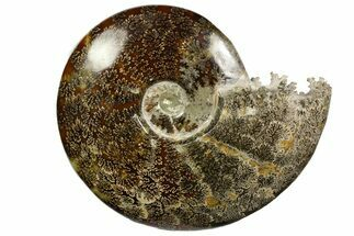 "Buy 9.75""  Polished, Agatized Ammonite (Cleoniceras) - Madagascar - #138562"