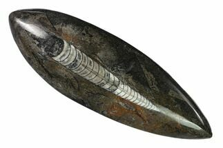 Orthoceras sp. - Fossils For Sale - #138267