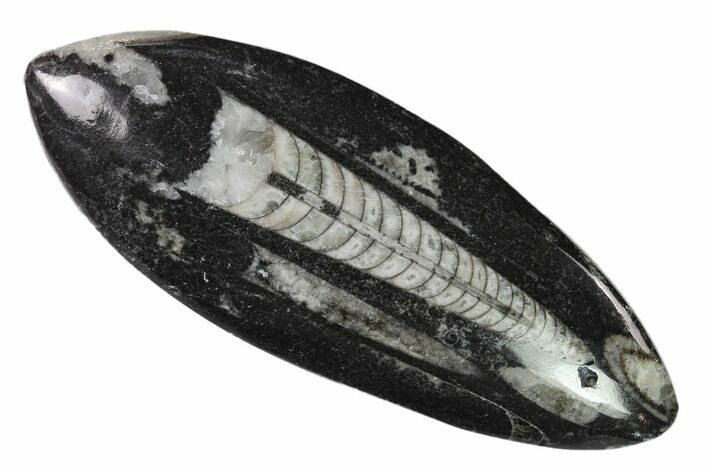 "4.3"" Polished Fossil Orthoceras (Cephalopod) - Morocco"