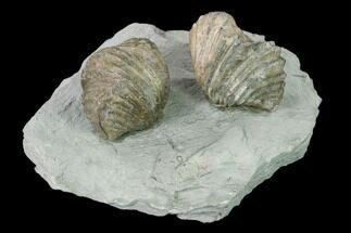 Two Fossil Brachiopods (Platystrophia) Mounted On Shale - Kentucky For Sale, #138833