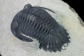 "1.9"" Detailed Hollardops Trilobite - Ofaten, Morocco For Sale, #138938"